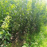 李子新品种 蜂糖李子苗批发 李子树的种植方法