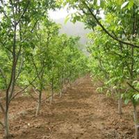 处理200亩占地树=苹果树,梨树,杏树,核桃树,李子树