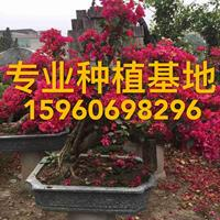 福建造型三角梅 庭院观花盆栽 三角梅绿化工程苗木景观树多种规