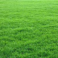 低价供应草坪 草皮 日本结缕草 结缕草属  马尼拉草 西南暖