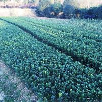 大叶黄杨苗批发 大叶冬青苗  常绿灌木 绿化苗木盆栽 黄杨球