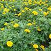 孔雀草苗圃直供  国庆鲜花  节庆用花  大棚草花