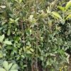 江西椤木石楠苗1-2-3公分价格,九江椤木石楠苗批发