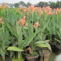 水生美人蕉(大杯),,,花境植物,球类,工程用苗木,庭园用花
