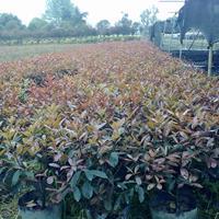 红叶石楠基地 红叶石楠球  红叶石楠柱  红叶石楠苗