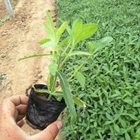 柳叶马鞭草生产基地-柳叶马鞭草批发价格