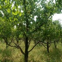 今年12公分山杏树价钱15公分18公分20公分山杏树市场报价