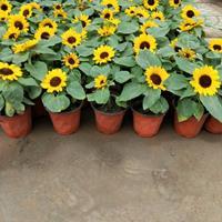 山东青州草花向日葵种苗-盆栽向日葵价格