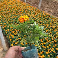 青州市孔雀草生产基地《全国发货-价格没的说》袋装孔雀草供应商