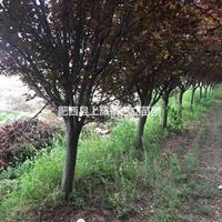安徽红叶李价格优惠,安徽合肥红叶李种植基地