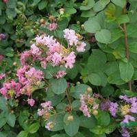 日本矮紫薇 H 30-40 蕭山苗木