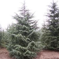 供應5米優質雪松樹