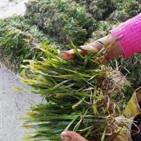 杭州萧山供应荷花,睡莲,芦苇,花叶芦竹,水生美人蕉。