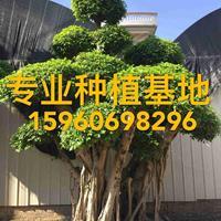 高4米造型小叶榕批发 榕树桩头报价 小叶榕桩景