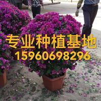 造型紫花三角梅 多色三角梅 三角梅柱 三角梅球  红花三角梅
