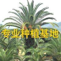 加拿利海棗價格批發報價 桿高2米加拿利海棗樹