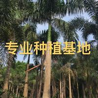 大王椰子树高6米批发