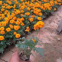 孔雀草-黄金薯-金叶薯-盆栽花卉黄色孔雀草-桔红孔雀草供应商