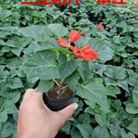 一串红-三色堇-太阳花-松叶牡丹-龙须牡丹{半枝莲}开花效果