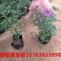 五色草-天竺葵-美女樱-牵牛-喇叭花-矮牵牛的生产环境