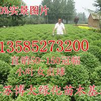 小叶女贞球价格(冠100-120厘米)小叶女贞色块工程苗基地