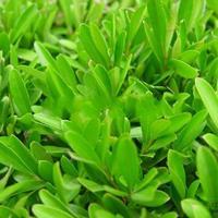 雀舌黃楊 H30-40 蕭山苗木