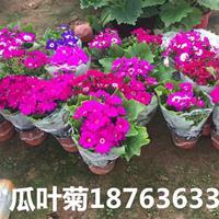 瓜叶菊批发、叶菊种子销售、成活率高【芦荟】品种齐全