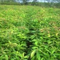 木荷小苗种植基地·木荷当年小苗·批发1-3公分木荷