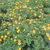 孔雀草價格 杭州孔雀草報價 優質地被草花孔雀草