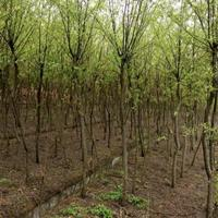 柳树 湖南柳树价格 长沙柳树 华中柳树报价 今年柳树价格