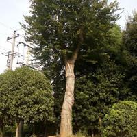 今年朴树价格 精品大规格朴树 长沙朴树起苗