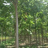 出售楸树基地,楸树批发价,价格便宜