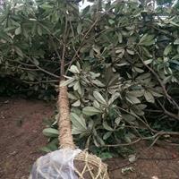枇杷樹起苗 湖南枇杷樹報價 長沙枇杷樹起苗裝車