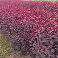 紫叶矮樱自产自销,紫叶矮樱低价销售,带盆紫叶矮樱