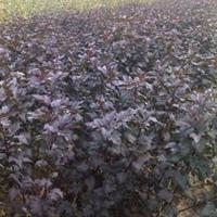 低价销售紫叶风箱果,紫叶风箱果自种自销,自种自销厂家销售