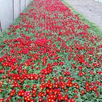 报春花杯苗出售 报春花冬季时令花卉 报春花基地
