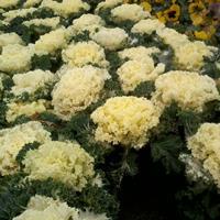 羽衣甘蓝杯花出售 羽衣甘蓝基地 冬季时令花卉