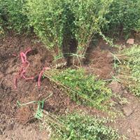 火棘苗80公分高工程苗 火棘种植绿篱色块 火棘图片介绍