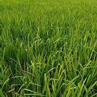 常绿水生鸢尾价格 杭州常绿水生鸢尾价格