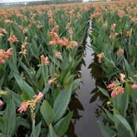 浙江水生植物 杭州水生美人蕉基地 今年水生美人蕉报价 萧山水