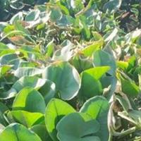 水生植物伊乐藻菹草马来眼子菜日本大花菖蒲德国鸢尾红花鸢尾供应