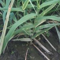 水生植物海寿花灯芯草芦竹香蒲花叶香蒲基地直销长期低价供应