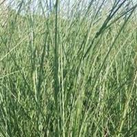 水生植物荇菜三白草小香蒲黑三棱黄花水龙基地场地低价供应