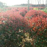 低分支蓬径1米5红叶石楠球精品树形价格参考