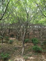 浙江湖州供应优质鸡爪槭