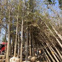 山东地区供应13公分银杏树