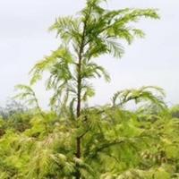供應金葉水杉1~4米高,紅楓,紅梅,西府海