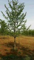 山东临沂地区供应12公分银杏树