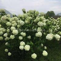 木本绣球冠幅50~3米出售琼花