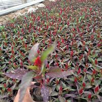 马齿笕-金盏菊--常春藤-长春花-万寿菊-夏瑾特性与栽培技术